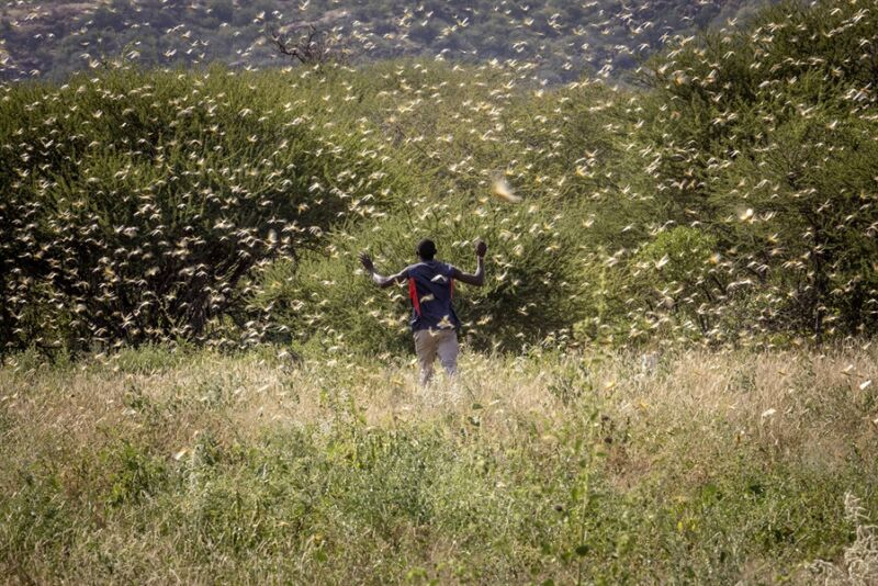Photo of Researchers find a chemical that makes locusts swarm