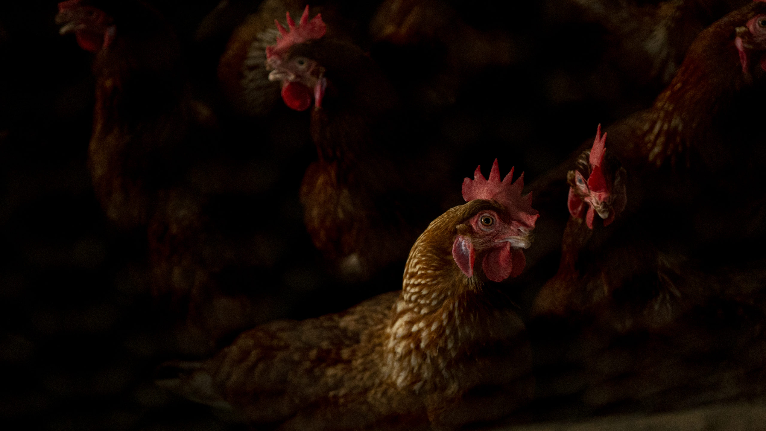 Photo of Ghanas poultry industry accuses EU of unfair competition