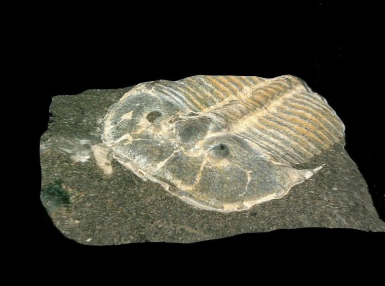 Photo of Fabulous fossil preserves eyes of 429-million-year-old trilobite