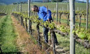 Photo of Grapevine Project Boost For Australian Wine Industry
