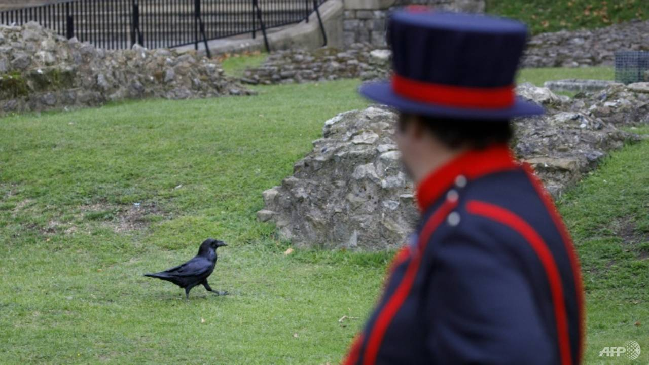 Photo of Tower of London ravens re-adapt to life after COVID-19 lockdown