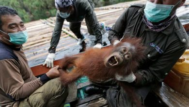 Photo of Conservationists release 10 orangutans into the wild in Indonesia