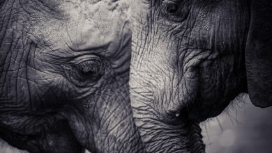 Photo of Extinction: Elephants driven to the brink by poaching